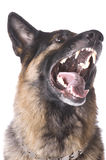 German shepherd on white Royalty Free Stock Photo