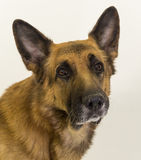 German shepherd. On a white background Stock Photo
