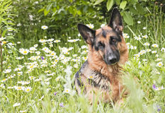 German shepherd in white daisies Stock Image