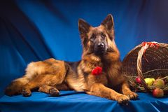 German shepherd with a wicker basket. Blue background. Royalty Free Stock Image