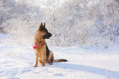 German Shepherd in winter. Thoroughbred German Shepherd sitting in the snow out of the mouth goes steam. Dog illuminated by the sun in the winter cold day on the Royalty Free Stock Photos