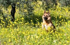 German shepherd Wolfdog in the fields Stock Images