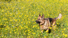 German shepherd Wolfdog  running in the field Royalty Free Stock Image