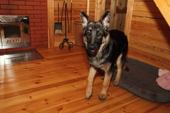 German Shepherd  in a wooden house Royalty Free Stock Image