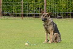 German Shepherd, working test Royalty Free Stock Photo