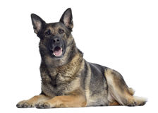 German shepherd, 4,5 years old, lying and panting. Isolated on white Stock Photos