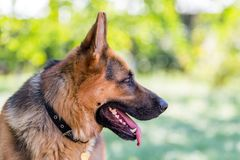 German Shepherd, 3 years old, in profile of green blurred background. royalty free stock photo