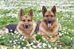 German shepherds Stock Images