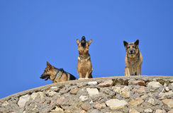German shepherds. Howling in a lost place in Andalucia coast Royalty Free Stock Photography