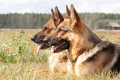 Free German Shepherds Royalty Free Stock Photography - 24922027