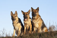 German Shepherds Stock Photo