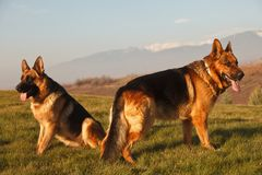 German shepherds on the field Stock Photography
