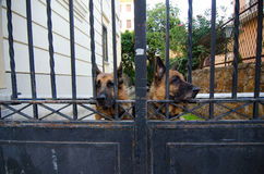 German shepherds guarding property Royalty Free Stock Images