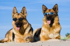 German shepherds laying in sun glasses Stock Image