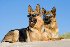 German shepherds laying in sun glasses Royalty Free Stock Photo
