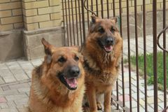 German Shepherds. Nice big German Shepherds in the photo stock photos