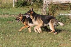 German Shepherds. Pair of German Shepherds running in a field stock photography