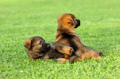 German shepherds playing. Two young german shepherd dogs playing together on a green meadow stock photos