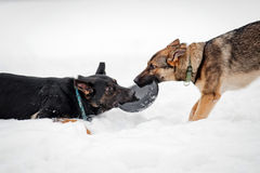 German shepherds plays with a disk frisbee Royalty Free Stock Photography