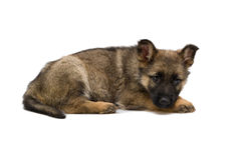 German shepherds puppy Stock Photos