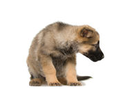 German shepherds puppy Stock Photography