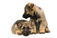 German shepherds puppys Stock Image
