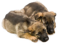 German shepherds puppys Stock Photography