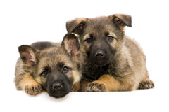 German shepherds puppys Stock Photos