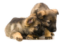 German shepherds puppys Royalty Free Stock Photo