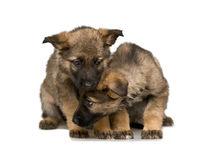 German shepherds puppys Royalty Free Stock Photos