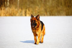 German shepherds on the snow Stock Images