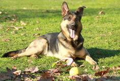 German sheppard. Laying in the grass Royalty Free Stock Images