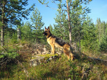 German Sheppard. In Norwegian forrest on the way up a mountain Stock Photo