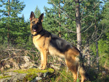 German Sheppard. In Norwegian forrest on the way up a mountain Stock Photos