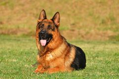 German sheppard Royalty Free Stock Photos