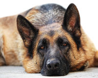 German sheppard Royalty Free Stock Photo