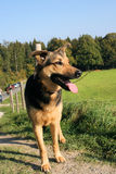 German Sheppard Dog Stock Photo