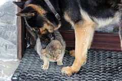 German sheppard dog playing with a grey cat. German sheppard dog playing with a sleepy cat Royalty Free Stock Photography