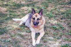German Sheppard. Dog german sheppard sitting in grass Royalty Free Stock Photos