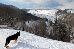 German sheppard in the mountains. During wintertime Stock Photography