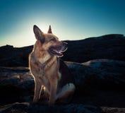 German Sheppard. Sitting on rocks Stock Photos