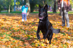 German shepperd. Black german shepperd playing in the park Stock Photography