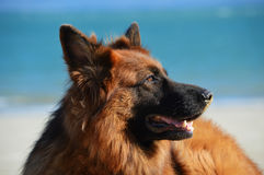 German Shepperd Royalty Free Stock Photos