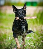 German shepperd dog with stick, after water. In hot sunny day Royalty Free Stock Image
