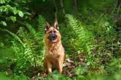 German sherpherd dog in forest Stock Photos