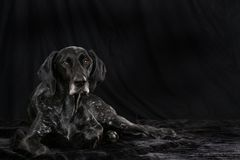 German short hair dog Royalty Free Stock Photo