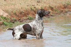 German short hair following trail. German short hair pointer dog following scent trail stock image