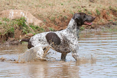 German short hair pointer Stock Image