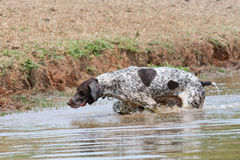 German short hair pointer Royalty Free Stock Image