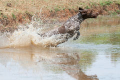 German short hair pointer dog Stock Photos
